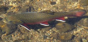 Sprague Lake Brook Trout By Daniel Mayer (Mav) (Own work) [CC BY-SA 3.0 (http://creativecommons.org/licenses/by-sa/3.0)], via Wikimedia Commons